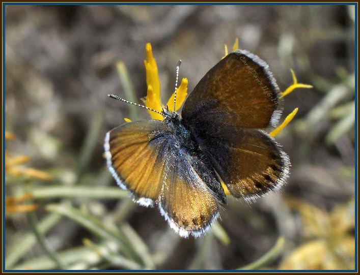 Western pygmy blue butterfly - photo#22
