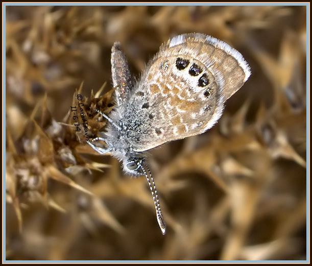 Western pygmy blue butterfly - photo#27