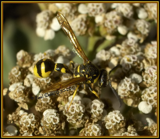 Potter Wasp Genus Eumenes Yellow And Black Wasp In The