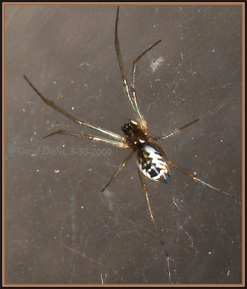 These spiders have beautiful Bowl And Doily Weaver Spider