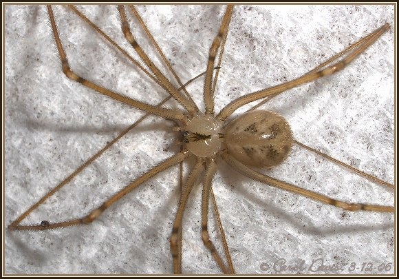 the above spider is a male cellar spiders occasionallyvibrate while
