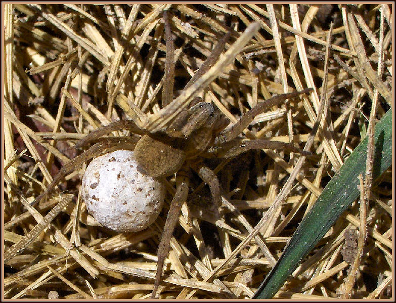 Wolf spider and the egg sac for Garden spider egg sac